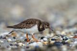 Shorebirds - Kustvogels