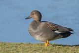 Ducks - Eenden