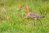 Black-tailed Godwit - Grutto