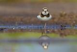 Little Ringed Plover - Kleine plevier