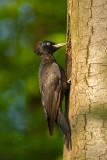 Black woodpecker - Zwarte specht