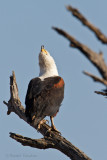 African Fish eagle - Afrikaanse visarend