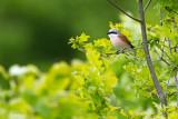 Red-backed Shrike - Grauwe klauwier