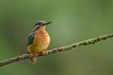 Kingfisher - IJsvogel