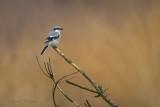 Great grey Shrike - Klapekster