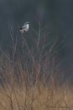 Shrikes - Klauwieren