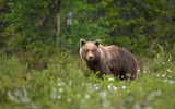 Brown bear - Bruine beer