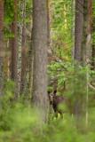 Moose - Eland