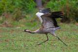 Common Crane - Kraanvogel