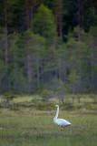 Whooper Swan - Wilde zwaan