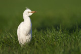 Western Cattle Egret - Koereiger