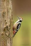 Middle Spotted Woodpecker - Middelste bonte specht