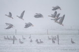 Greylag Goose - Grauwe gans