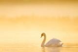 Mute Swan - Knobbelzwaan