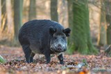 Wild Boar -Wild zwijn