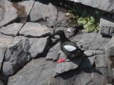 Black Guillemot, Scolpaig Bay, North Uist