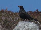 Blackbird, Loch Aineort, South Uist