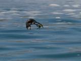 Great Northern Diver, Scolpaig Bay, North Uist