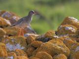 Redshank, Balranald, North Uist