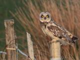 Short-eared Owl, Balranald, North Uist