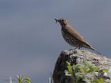Hebridean Song Thrush, Loch Aineort, South Uist