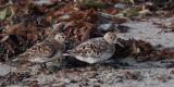 Sanderling, Stinky Bay, Benbecula