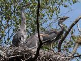 Grey Heron Family, Loch Lomond NNR