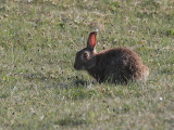 Rabbit, Solas, North Uist