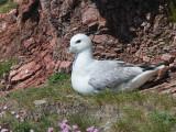 Fulmar, Scolpaig Bay, North Uist