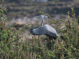 Grey Heron, Loch Aineort, South Uist