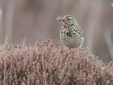 Meadow Pipit, Ruabhal, Benbecula