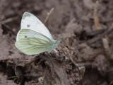 Green-veined White Butterfly, Aber Bog-RSPB Loch Lomond