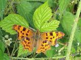 Comma Butterfly, Laughton en le Morthen, S Yorkshire