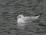 Black-headed Gull, Bingham's Pond-Glasgow, Clyde