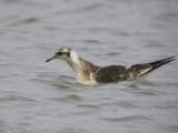 Black-headed Gull juvenile, Kilspindie, Lothian