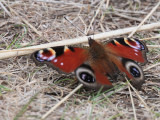Peacock Butterfly, Kilspindie, Lothian