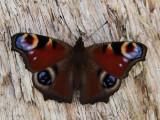 Peacock Butterfly, Loch Lomond NNR, Clyde