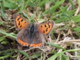 Small Copper, Crom Mhin marsh-Loch Lomond NNR