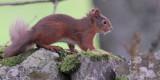 Red Squirrel, Balmaha, Loch Lomond