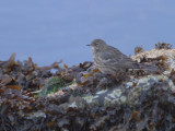 Rock Pipit, Baltasound, Unst, Shetland