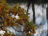 Oak leaves in autumn, RSPB Loch Lomond