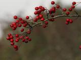 Hawthorn berries, RSPB Loch Lomond