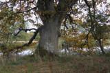 Ancient oak tree by the Endrick Water, RSPB Loch Lomond
