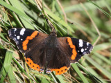 Red Admiral, Mire Loch, Borders