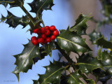 Holly Berries, Ross Wood, Loch Lomond
