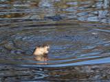 Otter, Linn Park, Glasgow