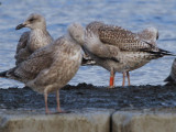 Herring Gull, Hogganfield Loch, Glasgow