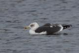 Lesser Black-backed Gull, Hogganfield Loch, Glasgow