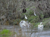 Little Egret, Merryton Haugh, Clyde