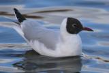 Black-headed Gull (adult), Hogganfield Loch, Glasgow